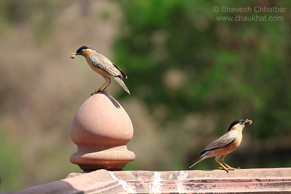 Brahminy Starling Parents or Brahminy Myna [Binominal Nomenclature: Sturnia pagodarum (Synonyms: Sturnus pagodarum, Temenuchus pagodarum)] at Prati Pandharpur